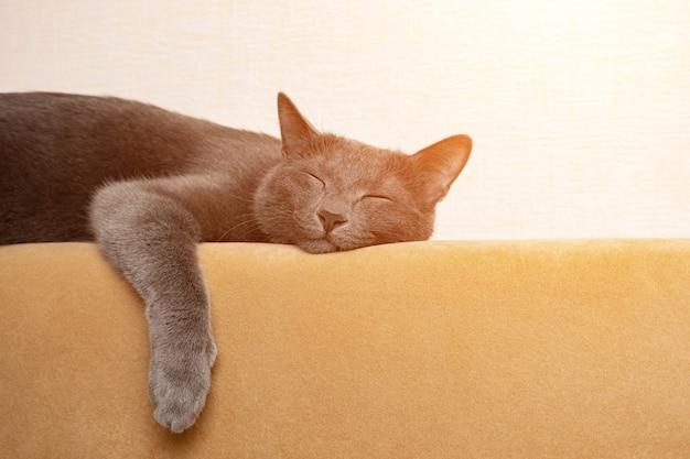 Szary kot śpi z łapami zwisającymi z tyłu musztardowej sofy w słońcu