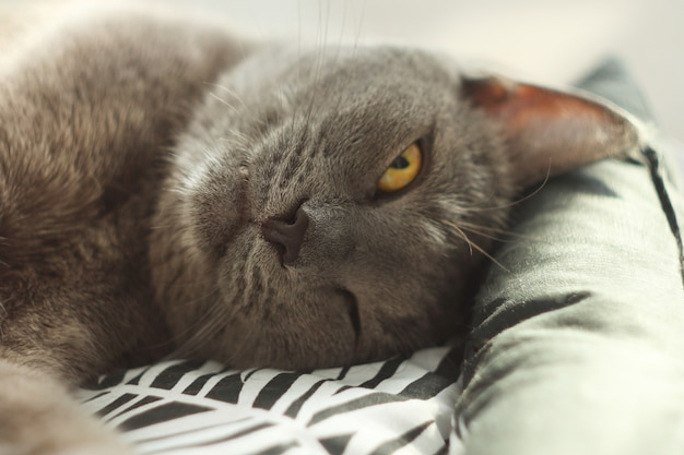 Szary kot śpi z otwartymi oczami w swoim miękkim wygodnym łóżku na podłodze kot rosyjski niebieski z bliska opieka nad psem, przyjaciel człowieka.