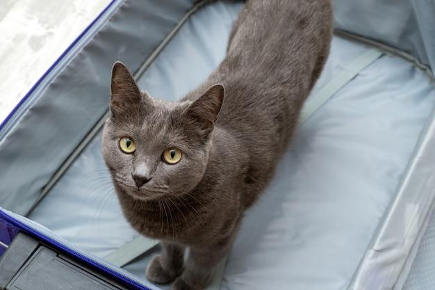 Szary kot stoi w otwartej pustej walizce