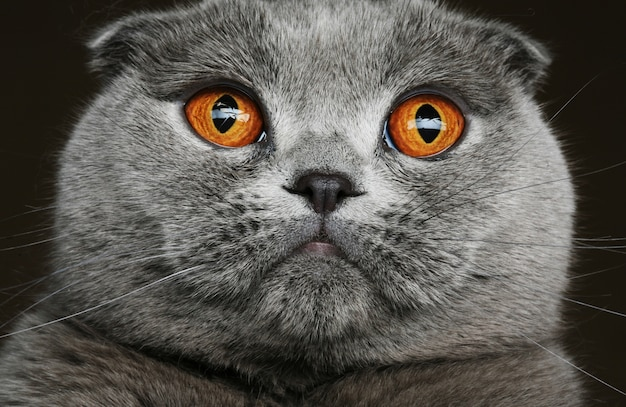 Szary kot szkocki fałd