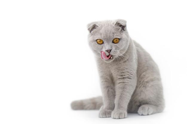 Szary kot szkocki na jasnej powierzchni