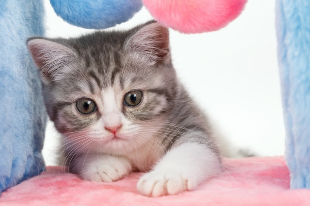 Szary kot z urządzeniem do zabawy i ostrzenia pazurów na białym