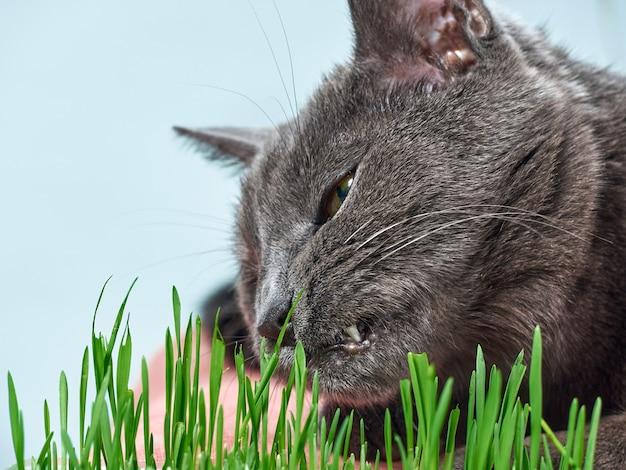 Szary kot zjada zieloną trawę.