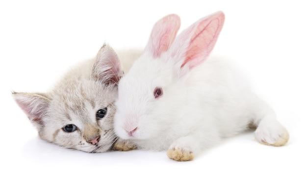 Szary kotek bawi się białym królikiem na białym tle.