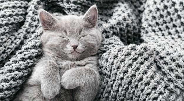 Szary kotek brytyjski leży na szarym miękkim kocu z dzianiny. portret kota z łapami drzemiącymi na łóżku. wygodne spanie zwierzaka w przytulnym domu. widok z góry. długi baner internetowy.