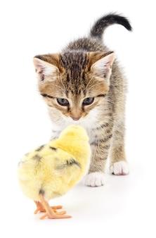 Szary kotek i kurczak na białym tle