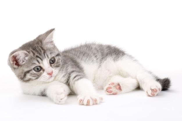 Szary kotek leży na białej powierzchni i patrzy w bok