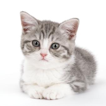Szary kotek leży na białym tle i patrzy prosto przed siebie