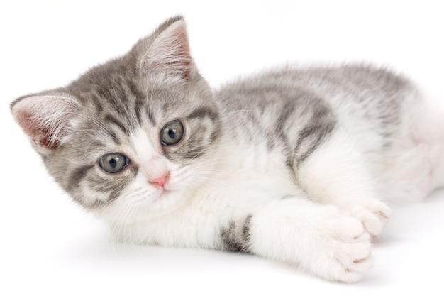 Szary kotek leży na białym