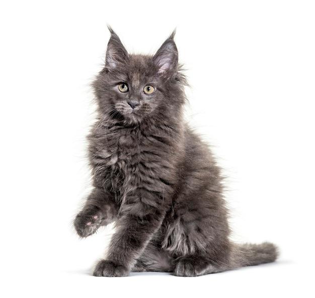 Szary kotek maine coon siedzi, na białym tle