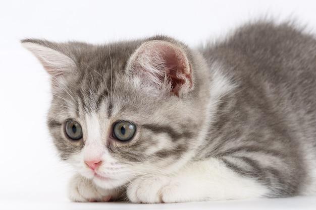 Szary kotek na białej powierzchni przygotowuje się do skoku. portret kota szkockiego.