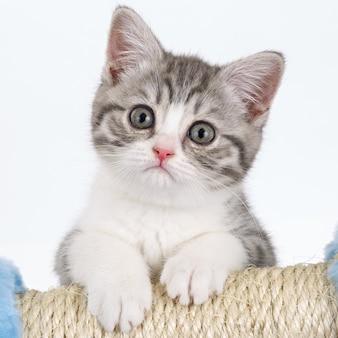 Szary kotek na białym tle patrząc w prawo