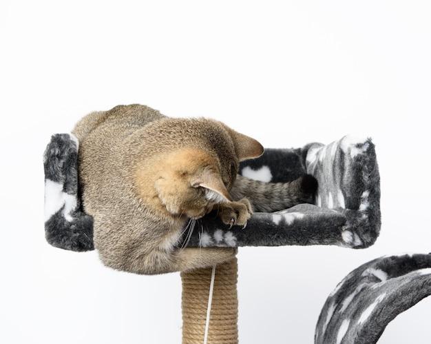 Szary kotek rasowy szkocki szynszyla prosta leży na białym tle, kot bawi się