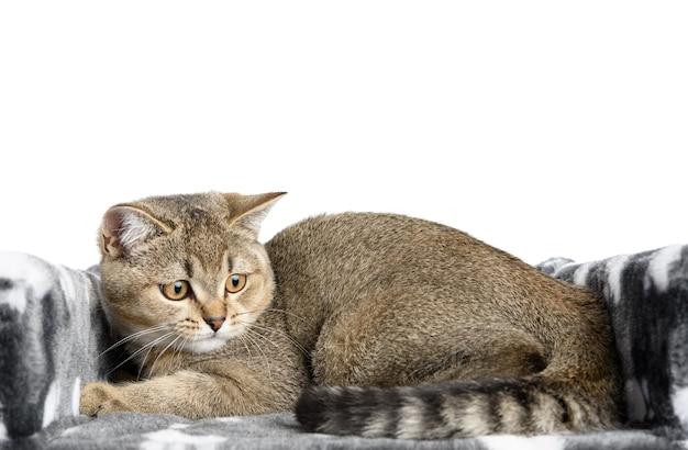 Szary kotek rasowy szkocki szynszyla prosta leży na białym tle, kot odpoczywa