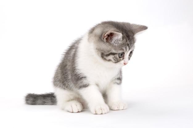Szary kotek siedzi na białej powierzchni i patrząc w bok. portret kota szkockiego.