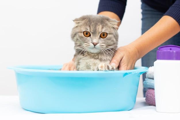 Szary kotek szkocki zwisłouchy leży w umywalce