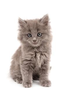 Szary kotek