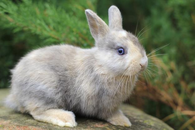 Szary królik o niebieskich oczach siedzi na skale. zdjęcie futrzanego zwierzaka.