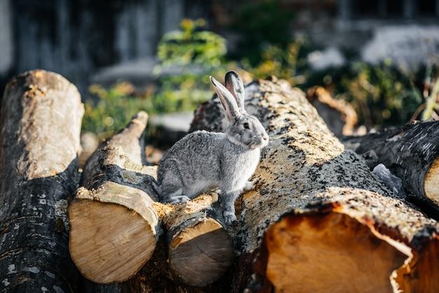 Szary królik w zielonej trawie na gospodarstwie rolnym