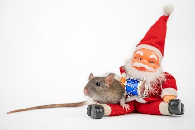 Szary ładny szczur na białym tle z izolatorem świętego mikołaja