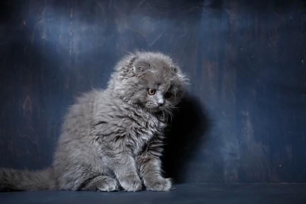 Szary mały kot rasy scottish fold bawi się na szarym tle