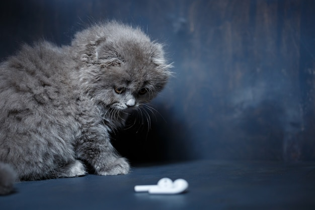 Szary mały kotek szkocki zwisłouchy bawi się bezprzewodowymi białymi słuchawkami