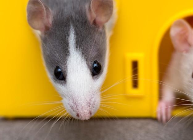 Szary oswojony chomik myszy patrząc z klatki