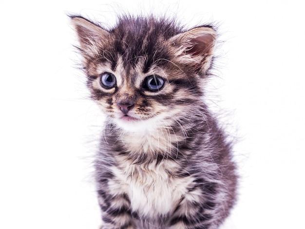 Szary pasiasty kotek z niebieskimi oczami. pojedyncze białe