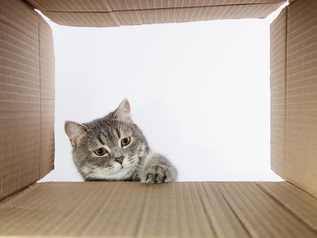 Szary piękny kot, zaglądający do kartonowej karobki, ciekawy zwierzak sprawdza ciekawe miejsca. skopiuj miejsce.