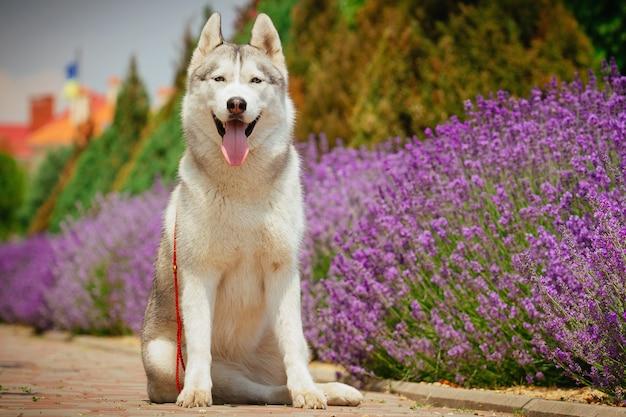 Szary pies siedzi na chodniku. kwitnąca lawenda w tle. portret siberian husky.