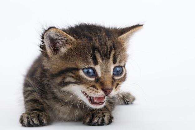 Szary pręgowany kotek leży na białej powierzchni.