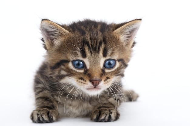 Szary pręgowany kotek leży na białym tle