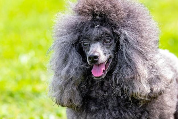 Szary pudel pudel z otwartymi ustami i przyjaznym spojrzeniem, portret zabawnego psa