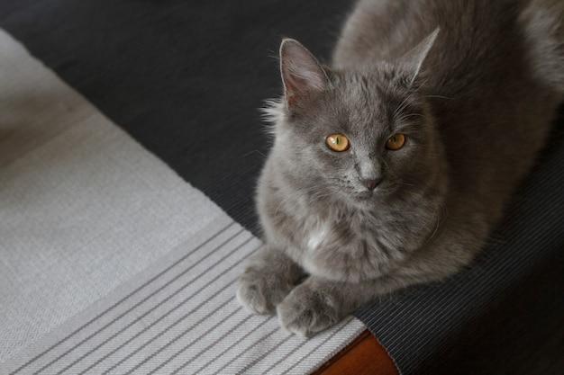 Szary puszysty kot leżący na podłodze w pomieszczeniu