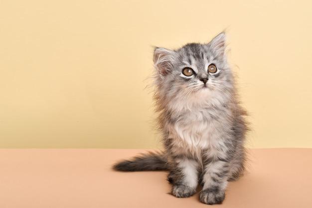Szary puszysty kotek spogląda na beżowe tło, gdzie jest miejsce na tekst. kopiuj przestrzeń