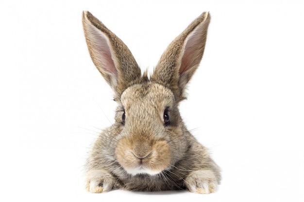 Szary puszysty królik patrząc na szyld. na białym tle. zajączek wielkanocny