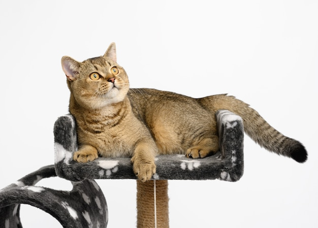 Szary rasowy kociak szynszyla szkocka prosta leży na wielopoziomowym domku zabaw, biała powierzchnia