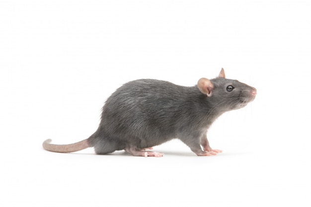 Szary szczur na białym tle