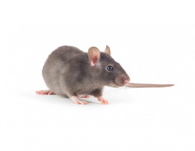 Szary szczur odizolowywający na biel ścianie