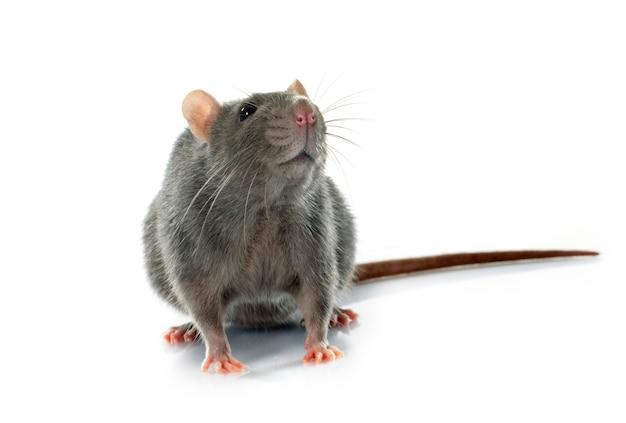 Szary szczur