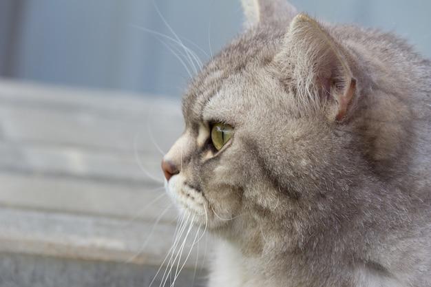 Szary szkocki prosty kot siedzący na zewnątrz.