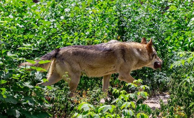 Szary wilk biegnie po lesie.