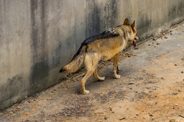 Szary wilk biegnie.