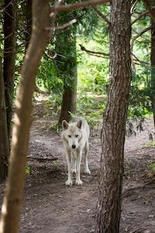 Szary Wilk, Canis Lupus Premium Zdjęcia