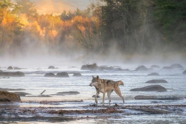 Szary wilk przekraczający mglistą rzekę z wschodzącym słońcem