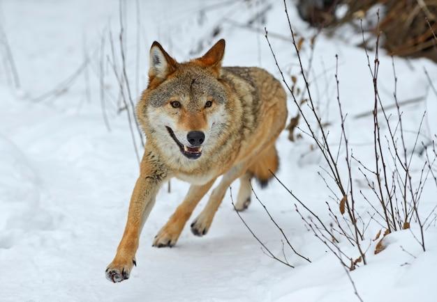 Szary wilk w lesie zimą