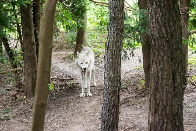 Szary wilk w lesie
