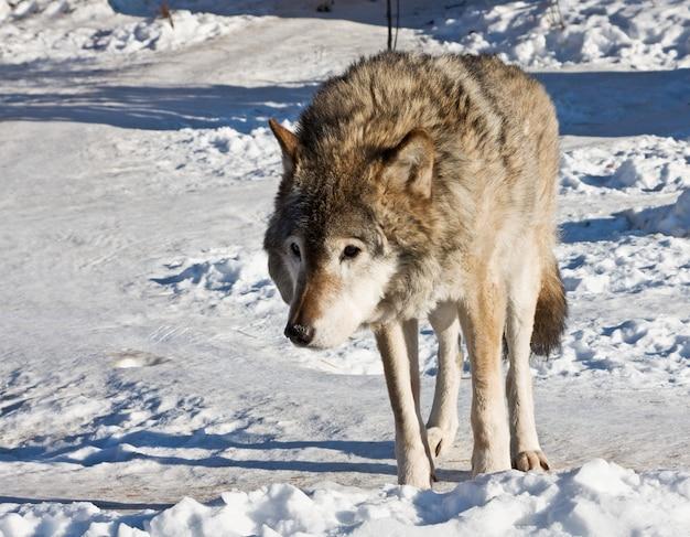 Szary wilk w śnieżnym krajobrazie