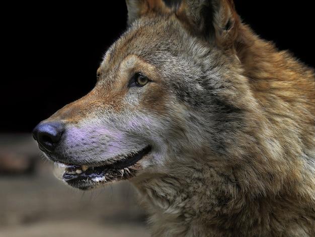 Szary wilk w zoo