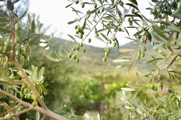 Szczegół drzewo oliwne z zielonymi oliwkami